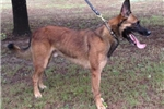 Picture of Belgian Malinois from Euro and PP lines