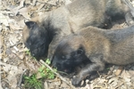 Picture of Superb litter of Belgian Malinois puppies