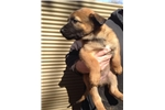 UKC Police Belgian Malinois Puppies - KNPV lines | Puppy at 7 weeks of age for sale