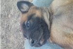 Belgian Malinois Puppies Ready for New Homes  | Puppy at 9 weeks of age for sale