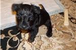 Picture of female black scottie
