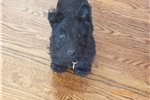 Scottish Terrier for sale