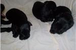 Picture of Pure bred female scottie black