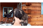 Picture of AKC reg. pups for sale