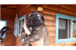 Picture of AKC pups for sale