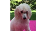 Picture of Poodle Mojo Champion Line Health Tested Helena