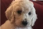 Picture of White Standard Male Puppy - Trillum