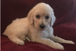 Picture of White Standard Female Poodle - Rose