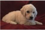Picture of White Standard Male Puppy - Azalea