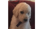 Picture of White Standard Female Poodle - Lilac