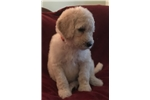 Picture of White Standard Female Poodle - Poppy