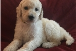 Picture of White Standard Female Poodle - Daisy