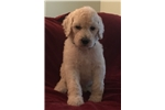 Picture of White Standard Male Puppy - Bachelor Button