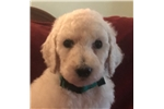 Picture of White Standard Female Poodle - Morning Glory