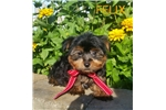 Picture of Felix Male Silky Terrier