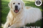 Picture of AKC English Golden Retriever Puppies