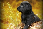 Labrador Retrievers for sale