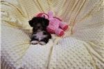 Picture of Ellie- Lovable Little Yorkiepoo