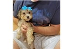 Picture of Buttercup- Adorable Little Yorkiepoo