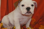 Picture of AKC English Bulldog Molly
