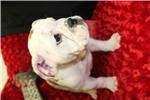 Picture of AKC Female English Bulldog Gabby