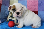 Picture of AKC English Bulldog Male