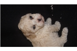 Picture of AKC male Mini Toy Poodle