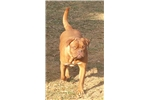 Picture of AKC Champion Sired