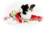 Picture of Oreo Dreams *Long coat* Black and White CHIHUAHUA