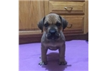 Picture of Pretty Face -Female Boerboel puppy