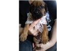 Picture of Gorgeous Boerboel Puppies Available