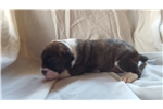 Picture of Lana Line Alapaha puppy