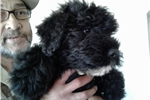 Picture of ADORABLE BOUVIER PUPPY
