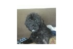 Bouvier Des Flandres for sale