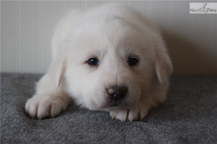 female 3  great pyrenees puppy for sale near east idaho  idaho