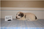 Picture of Anatolian Shepherd/Great Pyrenees Puppy