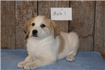 Picture of Male Anatolian Shepherd/Great Pyrenees Puppy