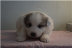 Picture of Great Pyrenees/Anatolian Shepherd Female