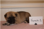Great Pyrenees/German Shepherd Puppy | Puppy at 9 weeks of age for sale