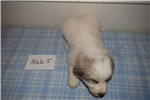 Picture of Male Great Pyrenees/Anatolian Shepherd Puppy