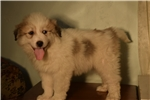 Picture of Pyrenees/Anatolian Male Puppy