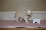 Picture of Female Great Pyrenees/Anatolian Shepherd Puppy