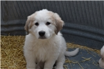 Picture of Great Pyrenees/Anatolian Puppy