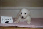 Picture of Great Pyrenees/Anatolian Shepherd Puppies