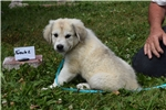 Picture of Great Pyrenees/Saint Bernard Female Puppy