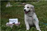 Picture of Saint Bernard/Great Pyrenees Female Puppy