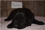 Picture of  Female Newfoundland Puppy
