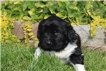 Picture of AKC Newfoundland Female