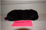 Picture of AKC Newfoundland Female Puppy