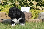 Picture of AKC Newfoundland Male Puppy